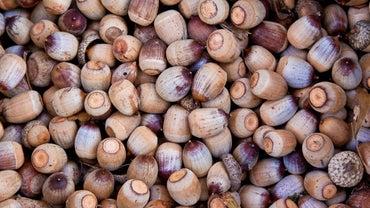Are Acorns Edible?