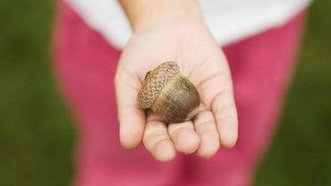Are Acorns Poisonous to Children?