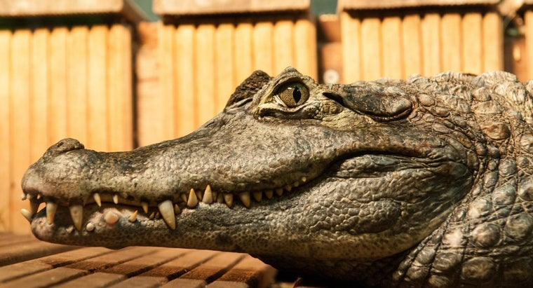 adaptations-crocodile