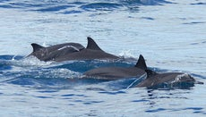 What Are the Adaptations of Dolphins?