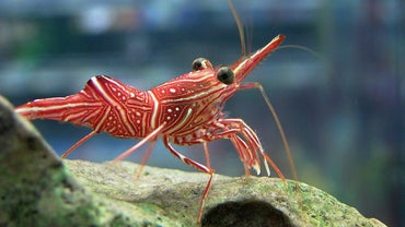 What Are the Adaptations of Shrimp?
