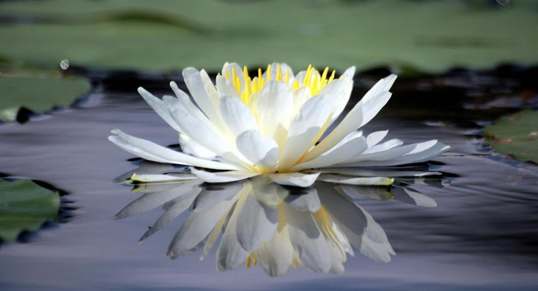 adaptations-water-lily