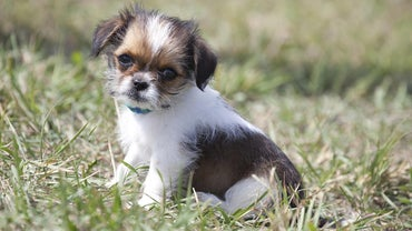 How Do You Adopt Shih Tzu Puppies?