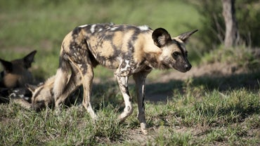 Where Does an African Wild Dog Exist Within Its Food Chain?