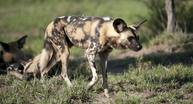 african-wild-dog-exist-within-its-food-chain