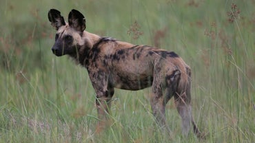 Does an African Wild Dog Make a Suitable Household Pet?