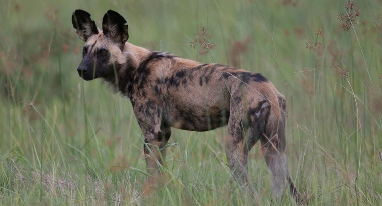 african-wild-dog-make-suitable-household-pet