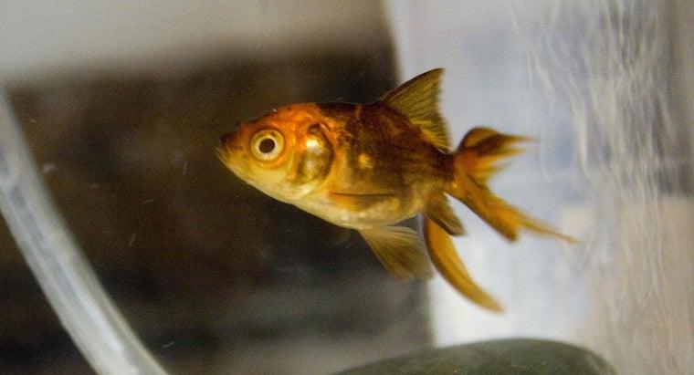 age-goldfish-change-color-black-gold