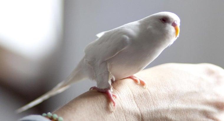 albino-parakeet