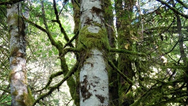 Where Do Alder Trees Grow?