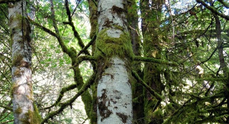 alder-trees-grow