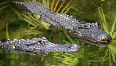 Alligator Vs. Crocodile: Is There Any Difference?