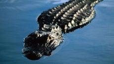 How Do Alligators Breathe Underwater?