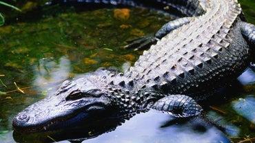 Where Do Alligators Live?