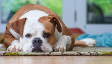 Are American Bulldogs Dangerous?