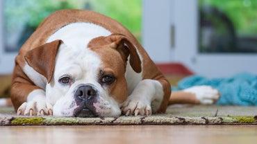 Are American Bulldogs Dangerous?