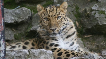 Where Is the Amur Leopard Ranked in the Food Chain?
