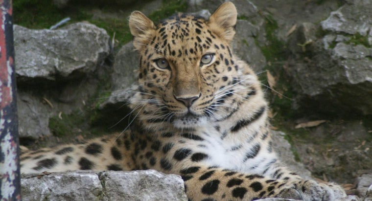 amur-leopard-ranked-food-chain