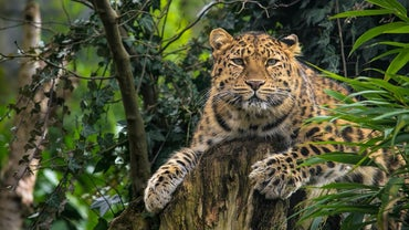 What Are Some Facts About the Amur Leopard?