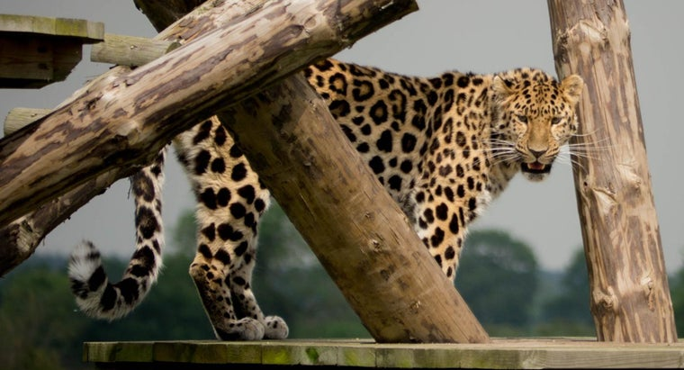 amur-leopards-endangered