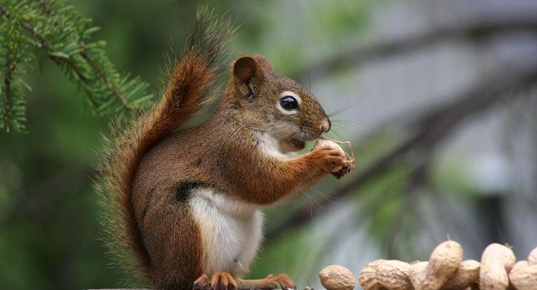 anatomy-squirrel