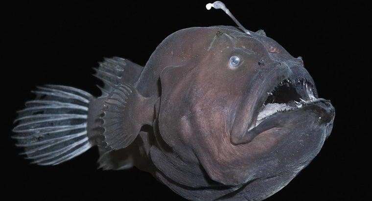 angler-fish-live