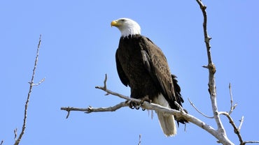 What Animal Eats a Bald Eagle?