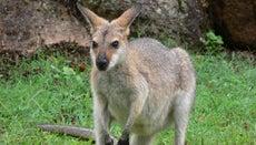 What Animals Are in Australia?