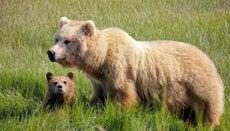 What Animals Eat Bears?