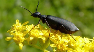 What Animals Eat Beetles?