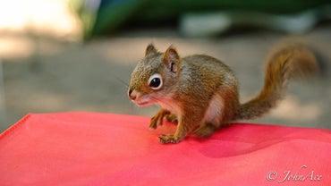 What Animals Eat Squirrels?