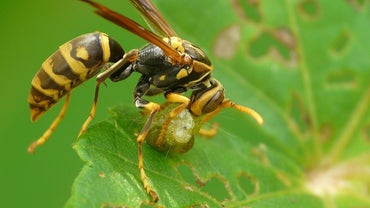 What Animals Eat Wasps?