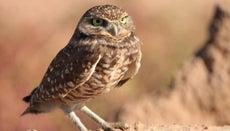 Which Animals Are Predators of Owls?