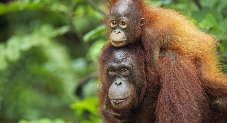 lifespan-ape