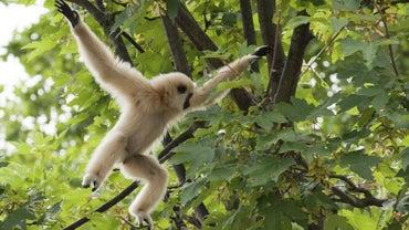 Where Do Apes Live?