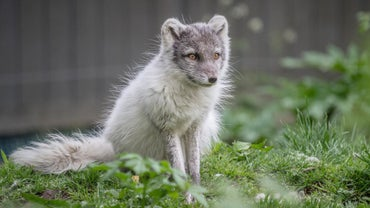 Why Are Arctic Foxes Endangered?