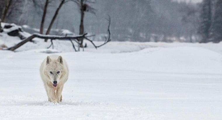 arctic-wolf-s-habitat