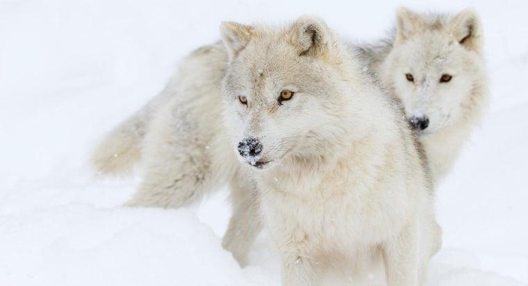 arctic-wolves-eat