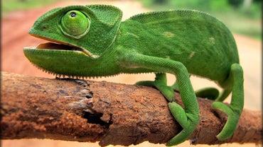 Are Chameleons Endangered?