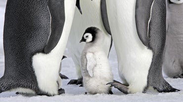 Are Penguins Mammals?