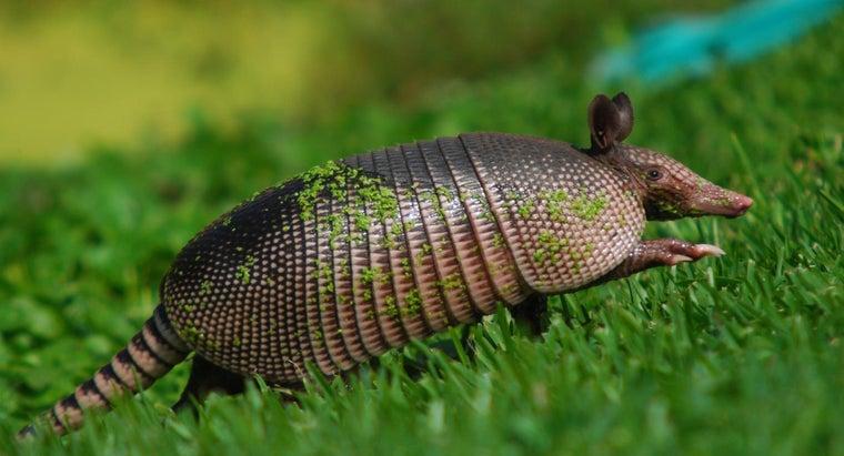 armadillos-eat