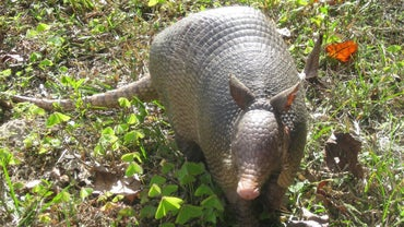 Do Armadillos Lay Eggs?