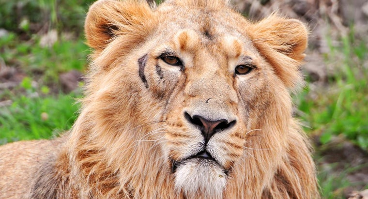asiatic-lion-food-chain
