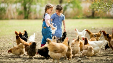 What Are Some Associated Costs With a Chicken Ranch?