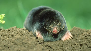 What Attracts Moles?