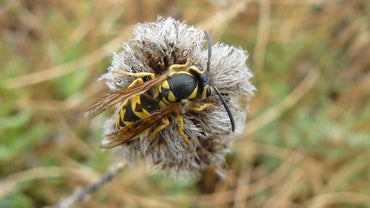 What Attracts Wasps?
