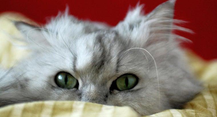 average-life-span-persian-cat