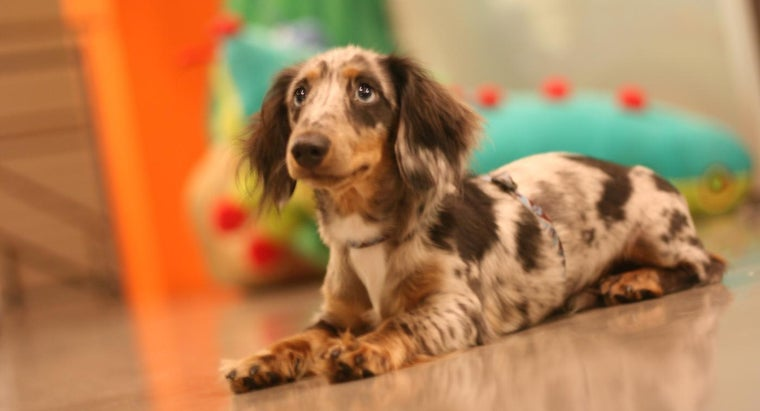 What Is the Average Price for a Dapple Dachshund Puppy? | Reference com