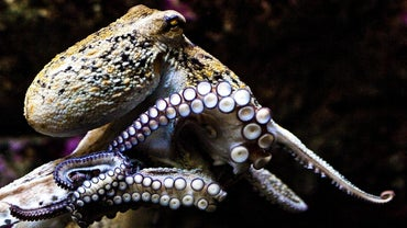 What Is the Average Size of an Octopus?