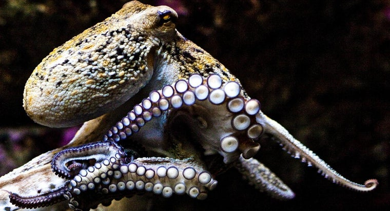 average-size-octopus
